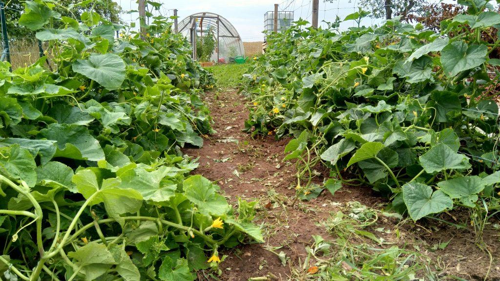 agurkų lysvė, keturios lysvės ir tvorelės tarp jų, kad galėtų lipti į viršų